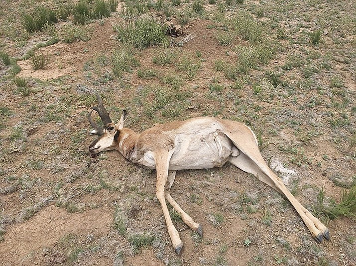 The Arizona Game and Fish Department is seeking information about the recent poaching of this pronghorn buck near Seligman, Arizona. (AZGFD/Courtesy)