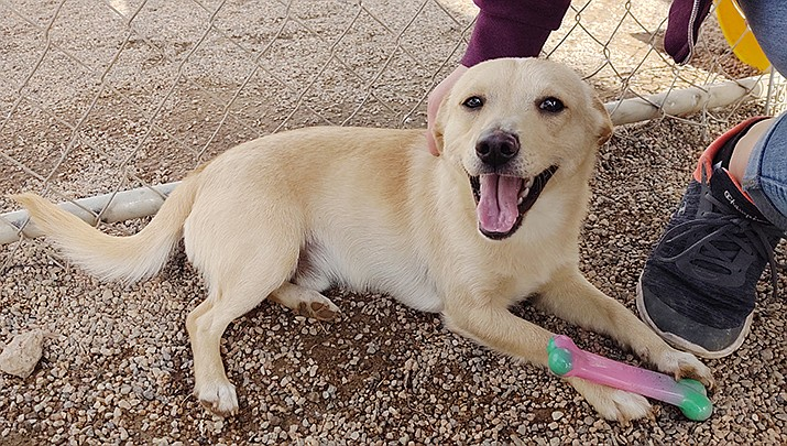 A lab named Peanut is shown at the Mohave County Animal Shelter. The county supervisors have allocated an additional $500,000 toward the now $2.5 million project to erect a new shelter. (Photo by Brandy Mayo/Kingman Miner)