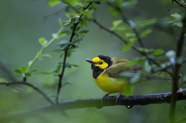 A hooded warbler. (Courier stock photo)