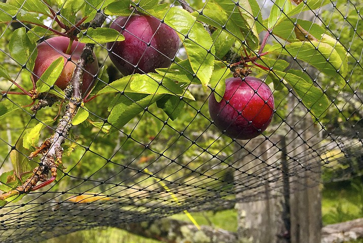 Pictured is an orchard near Langley, Washington, that shows netting thrown over a small fruit tree to discourage foraging by birds. Netting is cheap but is cumbersome to drape over anything but small fruit trees, berry-laden vines and shrubs. Even small openings will allow birds to feed. (Dean Fosdick via AP)