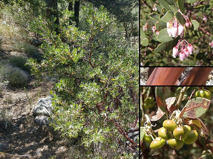 Photos of pointleaf manzanita (Arctostaphylos pungens) growing in Prescott, Arizona. The image on the left is of a mature plant (photo by Jeff Schalau, UA Cooperative Extension). The photos on the right show flowers (top, photo by Doug McMillan, Yavapai County Master Gardener), bark and fruit (photos by Jeff Schalau, UA Cooperative Extension).