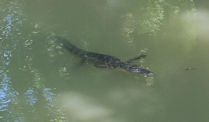 This 5-foot alligator is believed to be one of two stolen from a pet store in the northeastern Kansas city of Manhattan last weekend. A man called 911 to report seeing the gator while he was walking along the Linear Park Trail at Wildcat Creek. (City of Manhattan)