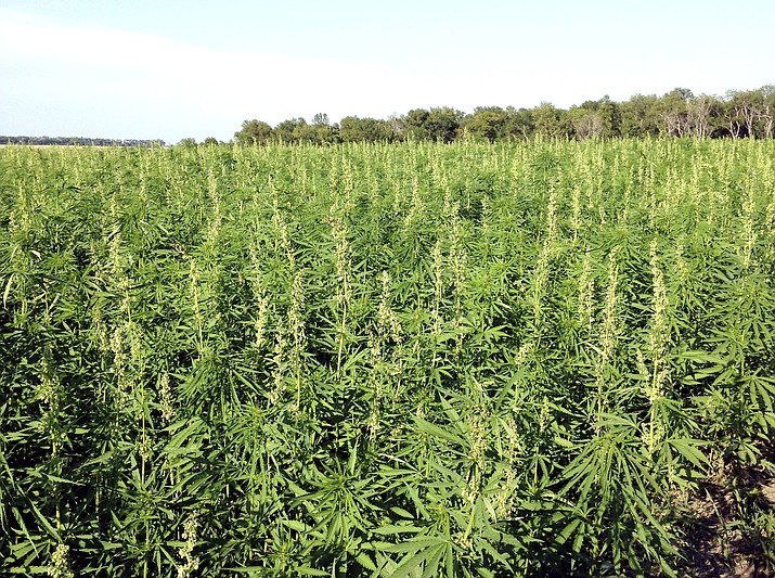 This July 2016 photo provided by the North Dakota Department of Agriculture shows industrial hemp growing in a field in North Dakota's Benson County. (North Dakota Department of Agriculture via AP,File)