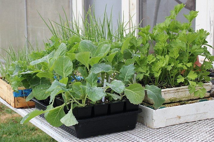 Pictured are growing lettuce transplants in New Paltz, N.Y. Sprouting seeds, then carefully moving them to individual cells is an easy and compact way to have transplants ready to fill in spaces opened up by harvested vegetables. (Lee Reich via AP)