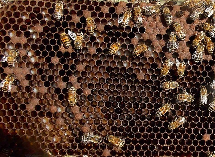 Honey bees tend to brood and larvae in a Prescott-area hive June 15, 2020. (Tim Wiederaenders/Courier)