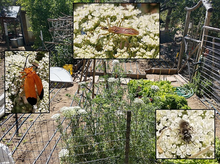 """Diverse insects are attracted to carrot flowers. The background shows the overall garden with several flowering carrot plants in the foreground. Inset photos were taken of various insects visiting carrot flowers: a net-winged beetle (left); assassin bug (upper); and a tiny (3/8"""" in length) solitary bee foraging for pollen. (Photos by Jeff Schalau, University of Arizona Cooperative Extension)"""