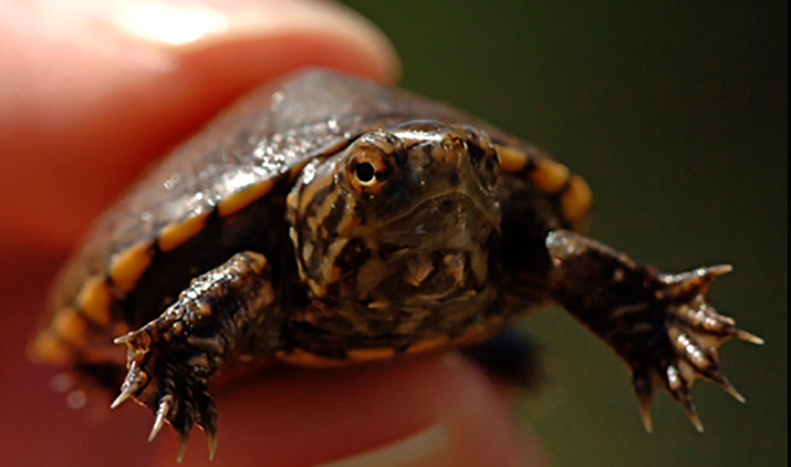 The Sonoyta mud turtle is an aquatic species that lives in the Sonoran Desert, a difficult enough existence to begin with. Now, some experts worry that critical habitat for the endangered animal is too close to proposed border wall construction. (Photo by George Andrejko/Arizona Game and Fish Department)