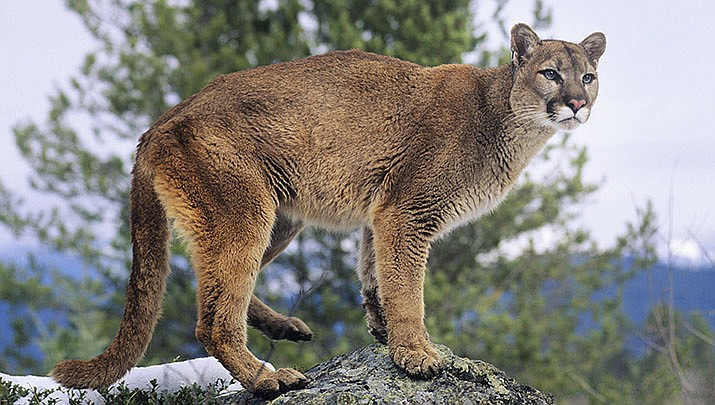 The Arizona Game and Fish Department is sponsoring a wildlife photo contest for species native to Arizona photographed in Arizona. A cougar is shown above. (Adobe image)