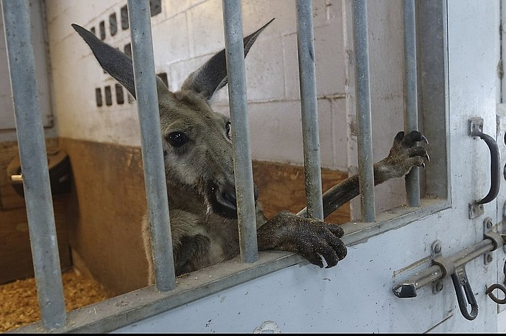 A kangaroo captured by Fort Lauderdale Police peers out from a stall at the Mounted Police headquarters in Fort Lauderdale, Fla. Thursday, July 16, 2020. (Joe Cavaretta/South Florida Sun-Sentinel via AP)