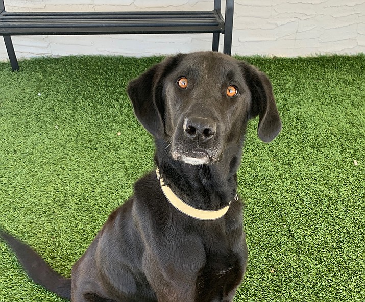 This is Smoke. If you would like to meet this handsome fellow, please call the shelter to set up an appointment at 928-636-4223, ext. 7. (Chino Valley Animal Shelter.)