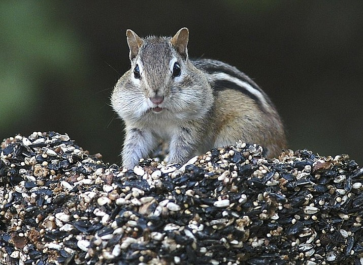 In this file photo, a chipmunk stuffs his mouth with seeds and returns to his nest to store them for winter in Canterbury, N.H. There has been a spike in New England's chipmunk population during the summer of 2020. (Ken Williams/The Concord Monitor via AP, File)