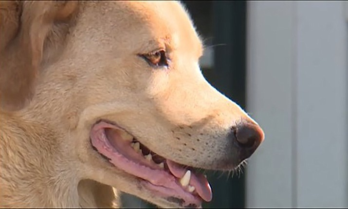 This video frame grab provided by KMBC-TV in Kansas City, Mo., shows Cleo, a 4-year-old Labrador retriever-border collie mix who disappeared from her home in Kansas earlier in July 2020, and turned up a few days later at her old home in Missouri, about 50 miles away. (KMBC-TV via AP)