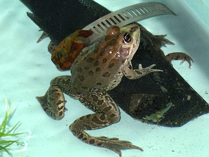 In this file photo a threatened Chiricahua leopard frog comes out from hiding in a special tank at a U.S. Fish and Wildlife Service office in Albuquerque, N.M. A U.S. Forest Service volunteer recently photographed the rare frog in an earthen stock tank near the town of Camp Verde in central Arizona, the agency said Thursday, July 23, 2020. The aquatic frogs were thought to be only in eastern Arizona, western New Mexico and northern Mexico but historically were more widespread. (AP Photo/Susan Montoya Bryan, File)