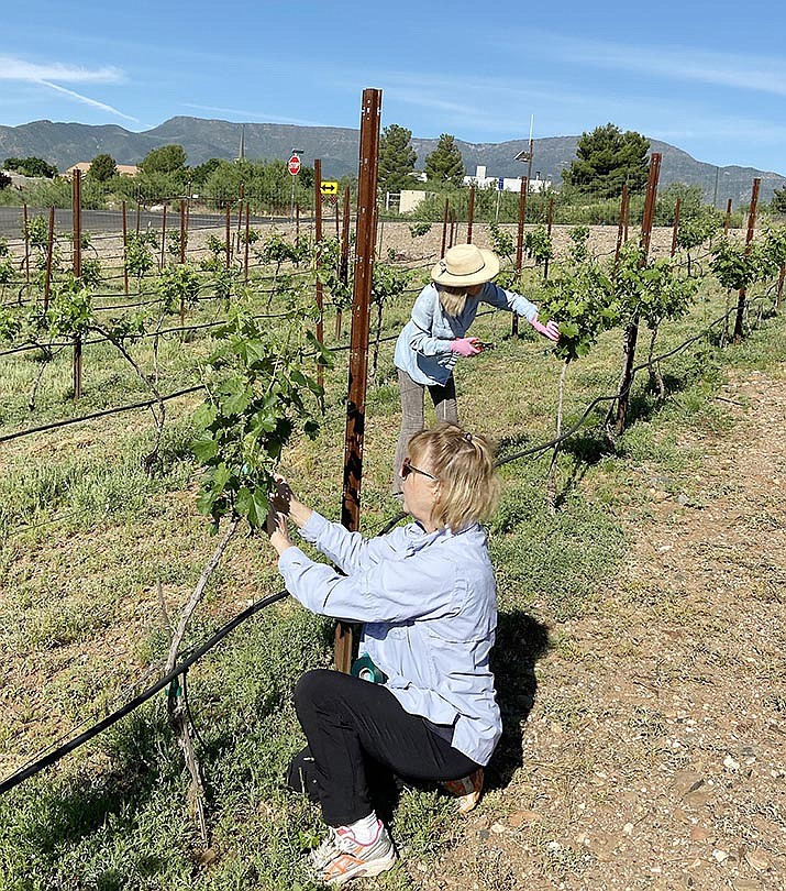 Chris Eckels, front, and Sharon Mattern, tend to the vineyard at Mingus Union High School. Mattern and her husband Hal moved from Phoenix to the Verde Valley to take Yavapai's viticulture and enology classes. VVN/Bill Helm