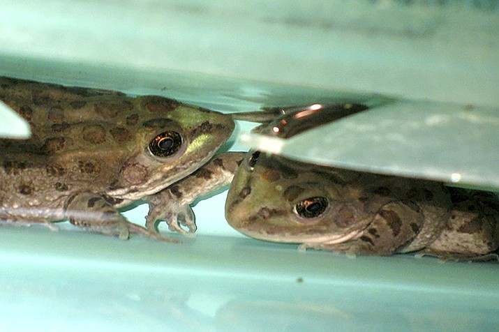 In this April 17, 2008,photo a pair of threatened Chiricahua leopard frogs in a special tank at a U.S. Fish and Wildlife Service office in Albuquerque, N.M. The rare frog has been found beyond its known range in the U.S. Southwest. A U.S. Forest Service volunteer recently photographed a Chiricahua leopard frog in an earthen stock tank near the town of Camp Verde in central Arizona, the agency said July 23, 2020. The agency says biologists later confirmed that at least 10 of the frogs were living there. (AP Photo/Susan Montoya Bryan, File)