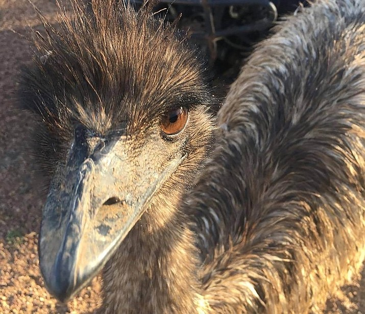 """In this photo taken and released by Leanne Byrne, an emu named Carol, three years old and raised from an egg, walks around behind a fence, July 5, 2020, in Yaraka, in the Longreach Region, Queensland, Australia, population 13. An Australian Outback pub has banned two emus, Carol and another, for """"bad behavior"""" after they learned to climb the stairs and created havoc inside. The two large, flightless birds were already adept at stealing food from people in a lightly populated Queensland state outpost. (Leanne Byrne via AP)"""