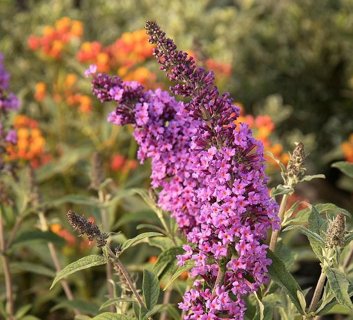 Butterfly bush. (Ken Lain/Courtesy)