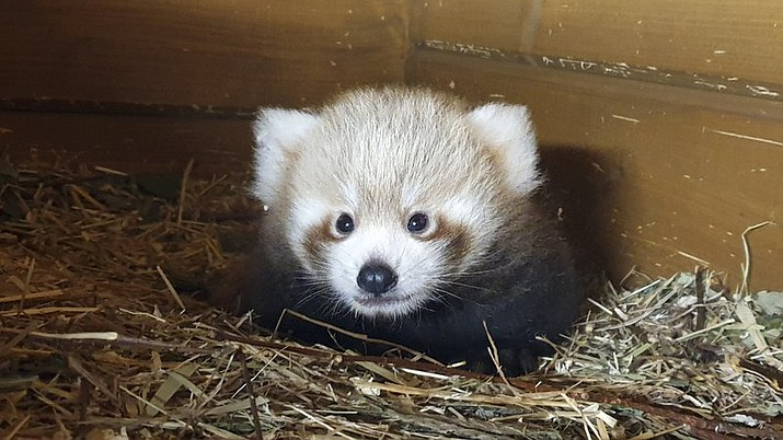 In this photo provided by the Tierpark Zoo in Berlin, Thursday July 30, 2020, shows a red panda cub. The little cub was first discovered on June 6 in its mother's cave only a few months after its parents were brought to the German capital from the Padmaja Naidu Himalayan Zoological Park in India. (Tierpark Berlin via AP)