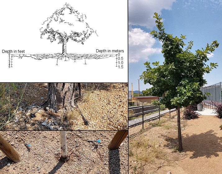 Planted landscape trees benefit when they develop a broad shallow root system (upper left, from: University of Minnesota). A six-inch diameter ash tree with two emitters (middle left). A newly planted and staked birch tree with two emitters at the base (lower left). An established Texas red oak that receives drip irrigation and has a basin that collects surface flow (right). (Jeff Schalau, University of Arizona/Courtesy)