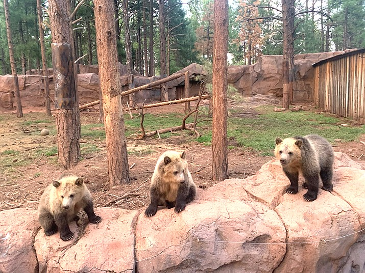 The three orphaned have nearly doubled in size from their original 25-35 pounds. The cubs diet includes fish, ground beef, fruits and vegetables. (Connie Hiemenz/WGCN)