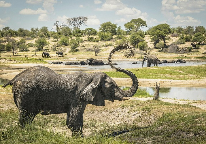In this 2016 photo provided by researcher Connie Allen, male African elephants congregate along hotspots of social activity on the Boteti River in Botswana. Female elephants are well-known to form tight family groups led by experienced matriarchs, but males were long assumed to be loners because they leave their mother's herd when they reach adolescence. Yet an emerging body of research is revealing the complex relationships of male elephant society, according to a study published Thursday, Sept. 3, 2020. (Connie Allen via AP)
