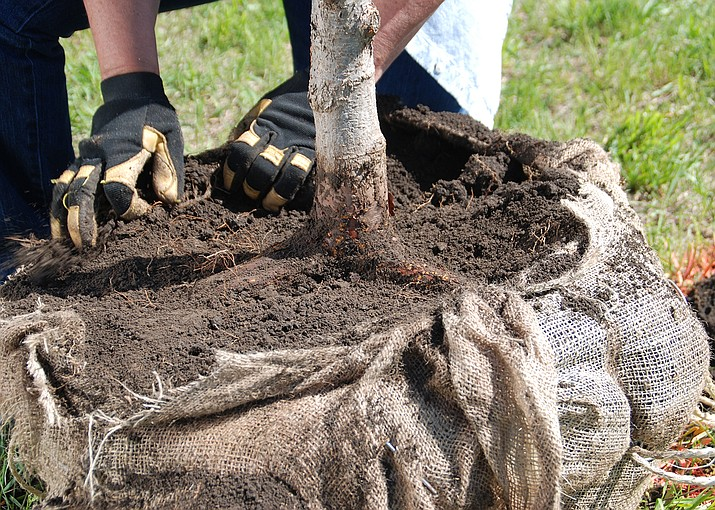 When planting, the tree's root flare should always be at or slightly above the soil surface. (MelindaMyers.com/Courtesy)