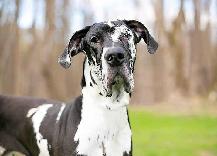 "Derek Walker told local media outlets in Birmingham that his dog, Ralph — a 4-year-old Great Dane who looks similar to this one — ""doesn't usually make a sound at night."" But Walker heard a ""different kind of bark"" coming from Ralph, so he got up to investigate. The dog has been credited with saving Walker, his wife and two children from a fire sweeping through their rental home. (Stock)"