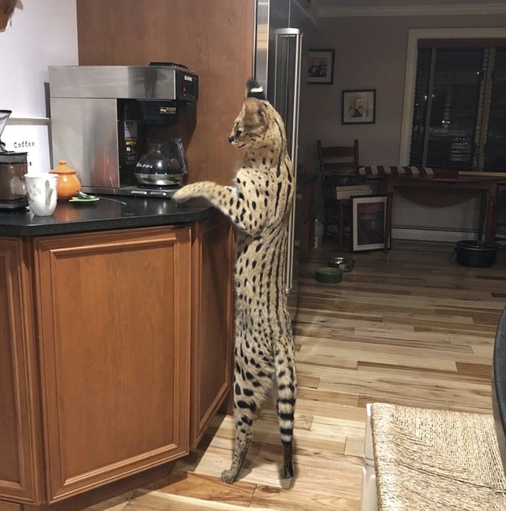 In this Aug. 26, 2020, photo provided by Dean King, Spartacus his pet exotic African serval cat, stands up to look at a coffeemaker in his home in Merrimack, N.H. The 40-pound (18-kilogram) serval cat has been found safe and sound after escaping from his home on Wednesday, Sept. 9, and spending days in the New Hampshire wild. (Lisa King via AP)