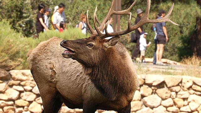Visitors and residents to Grand Canyon are being asked to be cautious when viewing wildlife in the park, especially elk, who have entered their mating season. (Photo/NPS)