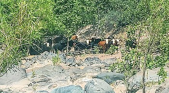 Environmental groups file suit to remove most cattle from Verde River watershed photo