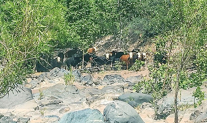 Cattle graze along the East Verde River. Environmental groups have filed suit to remove most of the cattle off of 143 miles of the Verde River watershed. Photo by Center for Biological Diversity