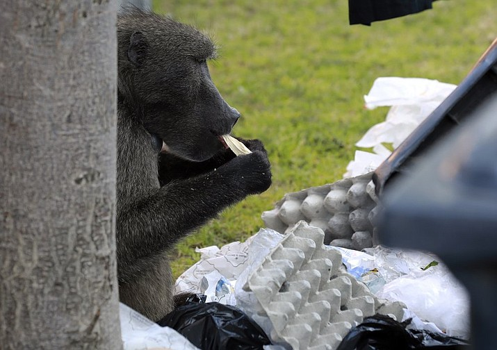 A baboon, named Kataza by locals, eats from discarded waste from stores in Tokai, Cape Town, South Africa, Thursday, Sept. 17, 2020. Kataza was relocated from Kommetjie, on the edges of Cape Town, to a nearby area late last month after city authorities claimed he was responsible for leading other baboons in his troop on raids through the village. One activist says Kataza is now wandering alone in an unfamiliar area and sleeping in a prison yard. (AP Photo/Nardus Engelbrecht)