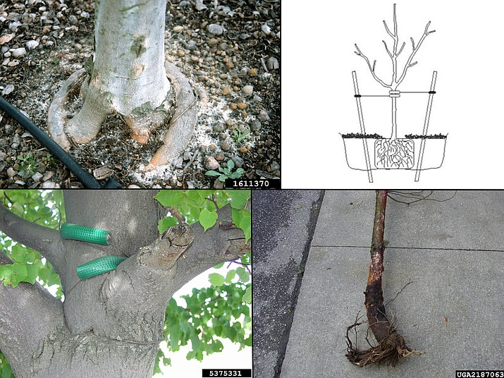 Tree failures can be caused by many factors – often by well-meaning people and poor horticultural practices. Girdling roots circle the tree and eventually cause damage or death. (upper left, John Ruter, University of Georgia, Bugwood.org) Tree ties that not removed in one or two years can cause lasting damage. (lower left, Andrew Koeser, International Society of Arboriculture, Bugwood.org) Planting too deep will kill a conifer in the blink of an eye. (lower right, Joseph LaForest, University of Georgia, Bugwood.org) Properly planted and staked trees will last a lifetime or longer. (upper right, University of Arizona Cooperative Extension)