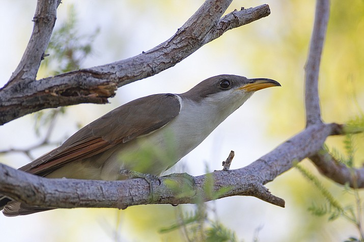 Audubon experts are celebrating the U.S. Fish and Wildlife Service's recent decision to keep the western yellow-billed cuckoo under the Endangered Species Act, ruling against a petition for removal. (Peter Pearsall/United States Fish and Wildlife Service via AP)