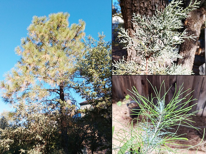 "Conifer leaves have varying lifespans and change from juvenile to mature forms sometimes experiencing a second childhood. Ponderosa Pines lose their oldest needles in fall (left, Jeff Schalau, University of Arizona). Alligator junipers have ""scale-like leaves"" (upper right, Jeff Schalau, University of Arizona). Mondell Pine displaying both mature (green) and juvenile (gray) foliage (lower right, photo from Master Gardener Help Desk client)."