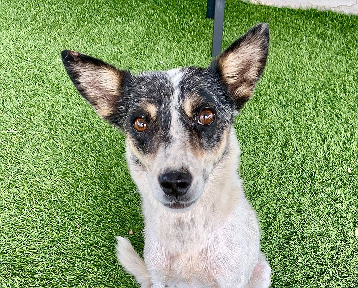 Kira is a 2-year-old momma who was rescued out on the Kayenta reservation. (Chino Valley Animal Shelter)