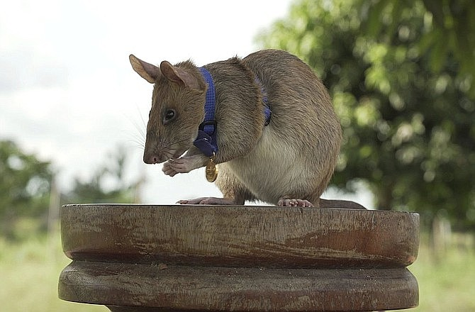 """In this undated photo issued by the PDSA, People's Dispensary for Sick Animals, Cambodian landmine detection rat, """"Magawa"""" is photographed wearing his PDSA Gold Medal, the animal equivalent of the George Cross, in Siem, Cambodia. A British animal charity has on Friday, Sept. 25, 2020, for the first time awarded its top civilian honor to a rat, recognizing the rodent for his """"lifesaving bravery and devotion"""" in searching out unexploded landmines in Cambodia. (PDSA via AP)"""