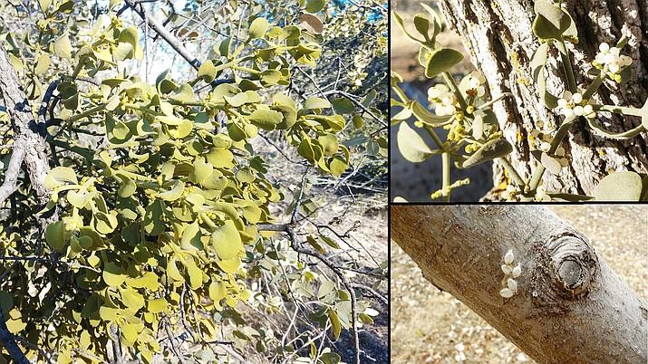 True mistletoe growing on Arizona White Oak, left, fruit (berries) produced by the female mistletoe plant, upper right, and true mistletoe seeds deposited on an apple tree branch, lower right. (Jeff Schalau, University of Arizona/Courtesy photos)