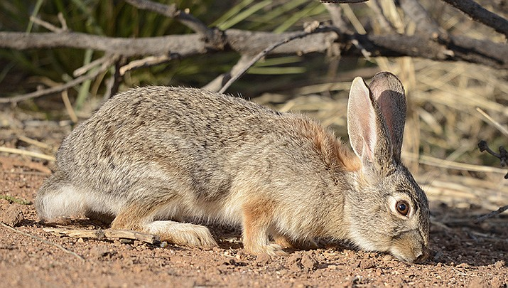 Small game hunting season in Arizona began Friday, Oct. 9 for many species, including cottontail rabbits, which can be hunted through June 30, 2021. (Photo by VJAnderson, cc-by-sa-4.0, https://bit.ly/36DDYNs)