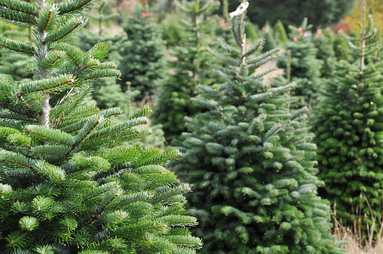 Prescott National Forest Christmas Tree Permits 2021 Prescott National Forest Christmas Tree Permits Available Starting Oct 19 The Daily Courier Prescott Az