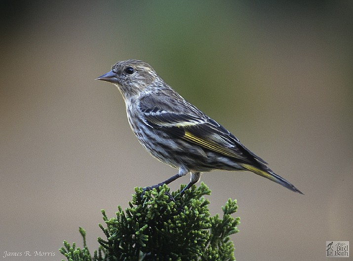 """""""Look for pine siskins this winter at your finch feeders."""" (Eric Moore/Courtesy)"""