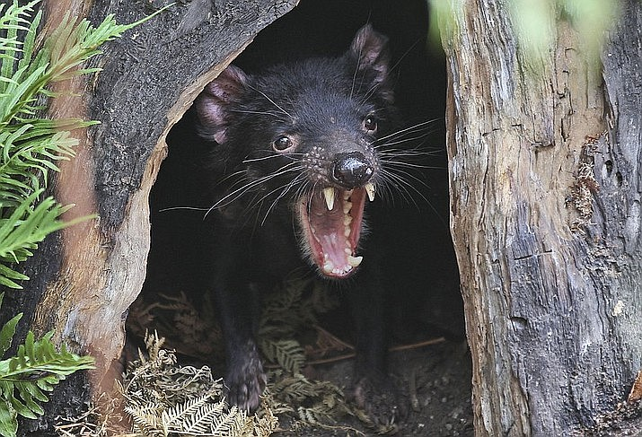 In this file photo, Big John the Tasmanian devil growls from the confines of his tree house as he makes his first appearance at the Wild Life Sydney Zoo in Sydney. Tasmanian devils, the carnivorous marsupials whose feisty, frenzied eating habits won the animals cartoon fame, have returned to mainland Australia for the first time in some 3,000 years. Conservation groups have recently released some cancer-free devils in a wildlife refuge on the mainland, and they plan to release more in the coming years. Their hope is that the species will thrive and improve the biodiversity. (AP Photo/Rob Griffith, File)
