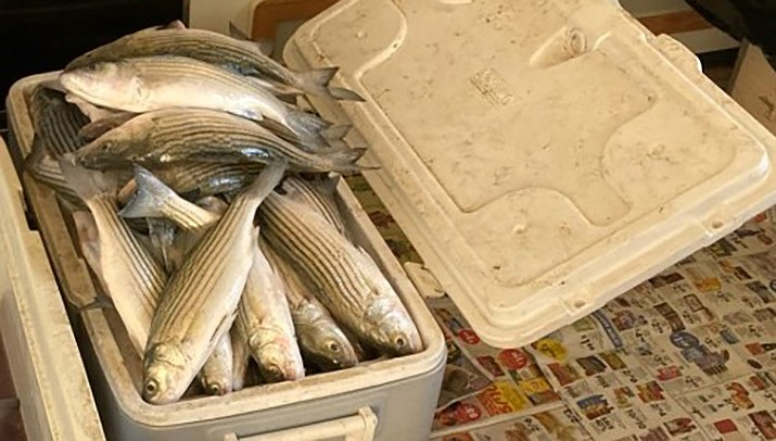 Kingman resident Ralph Wood caught these stripers recently while fishing north of South Cove on Lake Mead.  He caught 84 stripers in about eight hours. (Courtesy photo)