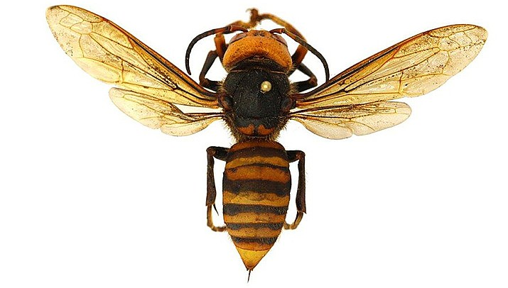 A team from the Washington state Department of Agriculture destroyed a nest of murder hornets this month. (Photo by Ovpetryshyna.if19, cc-by-sa-4.0, https://bit.ly/31H3cHD)