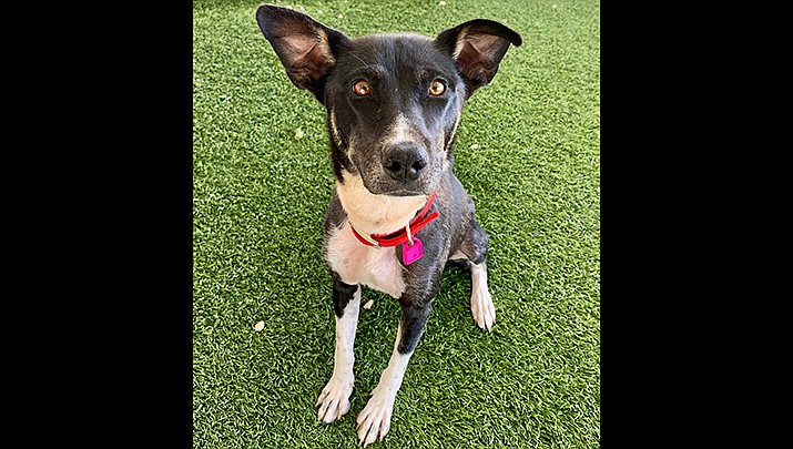 Emery is an approximately 1-2-year-old mixed breed. (Chino Valley Animal Shelter)