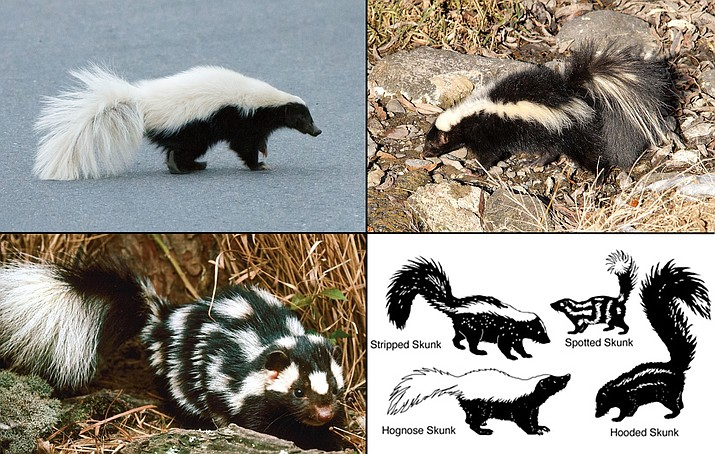 Four skunk species can be found in Arizona. The American hog-nosed skunk is the largest and is found predominantly along Arizona's southern border (upper left, photo from www.inaturalist.org). The western spotted skunk is the smallest species in Arizona (lower left, photo from www.inaturalist.org). The striped skunk are the most common species in Arizona (upper right, photo from National Park Service, Southwest Region). Their size, markings, and habitat preferences make each species unique (lower right, drawing from New Mexico State University).