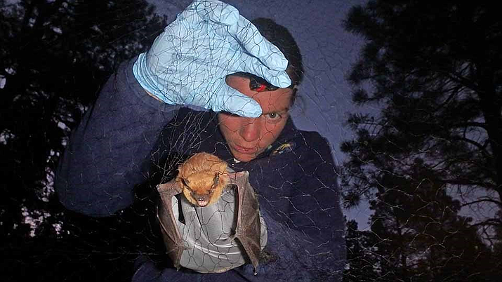 A park biologist handles a big brown bat caught in mist netting. The bat has golden hair on it's body and a brownish-grey face and wings.(NPS/photo)