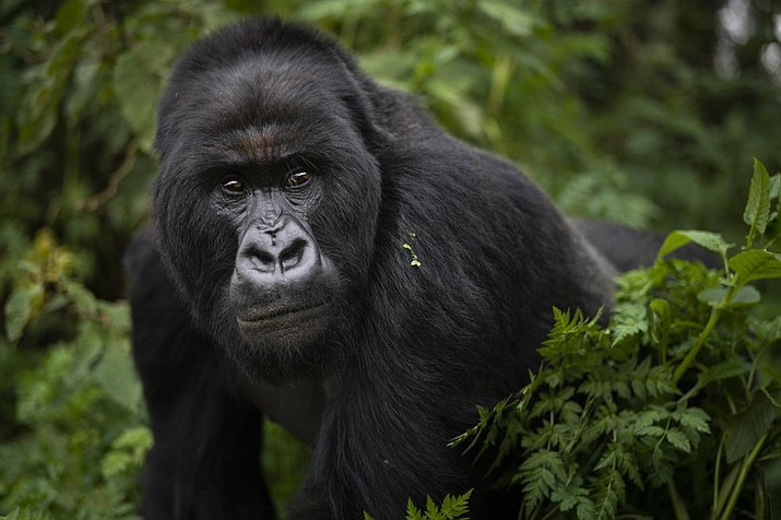 In this Sept. 2, 2019, file photo, a silverback mountain gorilla named Segasira walks in the Volcanoes National Park, Rwanda. These large vegetarian apes are generally peaceful, but as the number of family groups in a region increases, so does the frequency of gorilla family feuds, according to a new study published Wednesday, Nov. 4, 2020, in the journal Science Advances. (AP Photo/Felipe Dana, File)