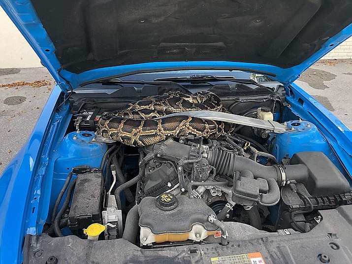 A 10-foot Burmese python was found under the hood of a car in Dania Beach, Florida. (Florida Fish and Wildlife Conservation Commission)