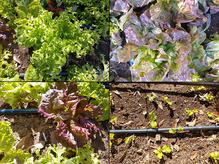 Lettuce varieties vary in color, flavor, and leaf shape. All photos were taken after a night with a low temperature of 21 degrees. Larger plants were planted on Aug. 21, 2020. 'Goldrush' is shown in on the upper left. 'Red Velvet' is surrounded by 'Australian Yellowleaf' on lower left. 'Yugoslavian Red' is shown on the upper right. Smaller, thinned 'Australian Yellowleaf' seedlings were planted on Oct. 10, 2020 (lower right). (Jeff Schalau, University of Arizona/Courtesy)